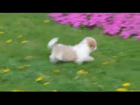 Shih Poo Puppies For Sale