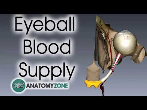 Eyeball | Blood Supply