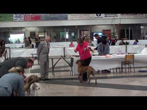 Rhodesian Ridgeback Puppy in a Show