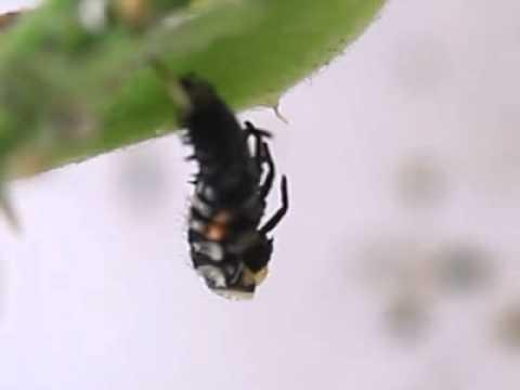 Mue d 39 une larve de coccinelle youtube - Larve de coccinelle ...