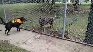 Lab Mix Patrick Plays With Rottweiler German Shepherd Mix Scout Through The Fence - Too Cute!!