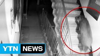 멧돼지 도심 아파트 출몰...4층 계단까지 올라와 / YTN (Yes! Top News)