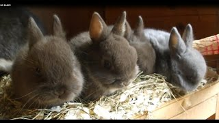 Netherland Dwarf Cute Adorable Baby Rabbits Babies