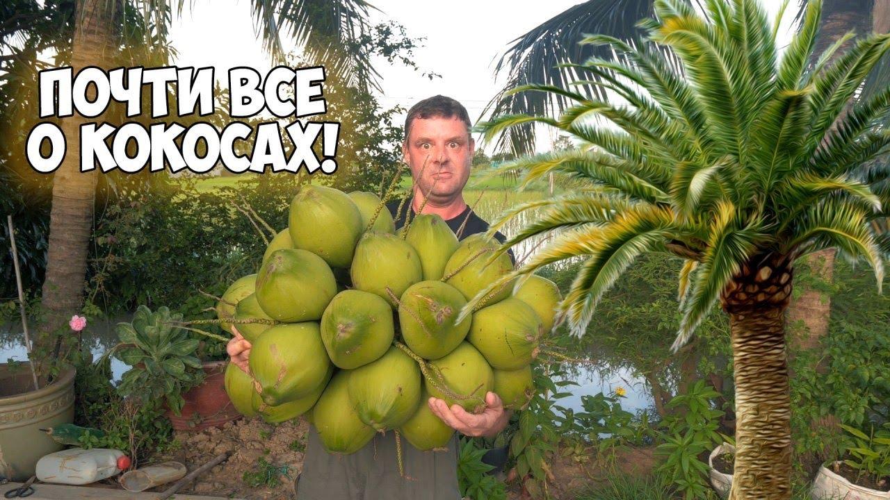 Выращивание и нежное кокосовое молочко!