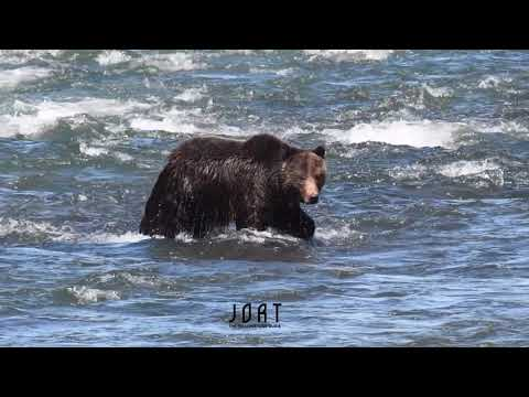 Grizzly bear crossing Yellowstone River