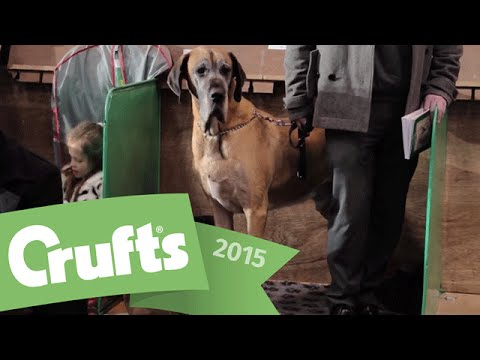 Best of Breed - Great Dane and winner's interview | Crufts 2015