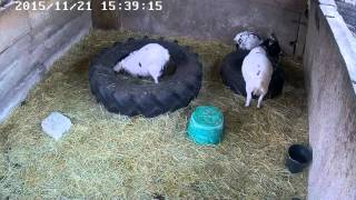 Pygmy goats – mini kozy