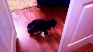 Прикол. Кострированый кот трахает игрушку!