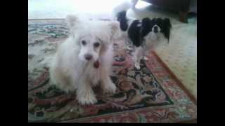 Chinese Crested Powder Puff Sings and Papillon Attempts to Join