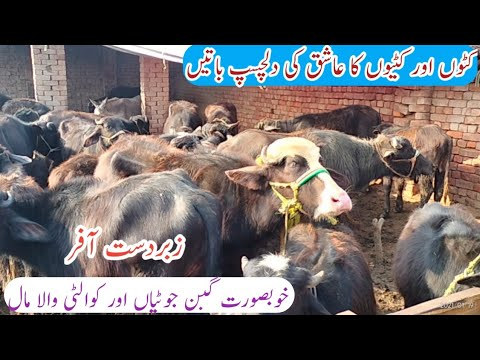 Shahzad Cattle Farm in Shiekhupura|Top Quality Katta Farming|Business talks official