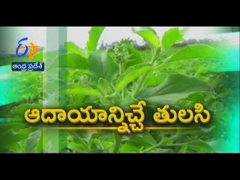tulasi farming making profits to Guntur farmers - జైకిసాన్ - on 9th February 2015