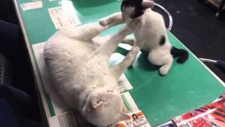 愛猫ペンスキーとリカバリーのケンカ.