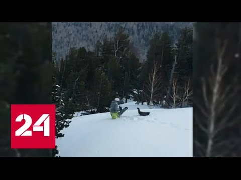 Глухарь атаковал сноубордиста на горном склоне в Шерегеше - Россия 24