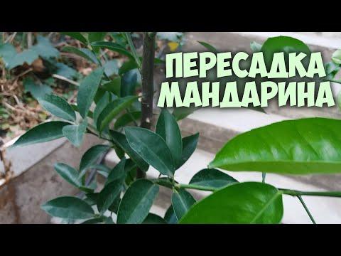 Мой комнатный Мандарин | Пересадка мандарина