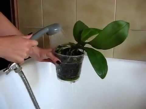Come Bagnare Le Orchidee Youtube