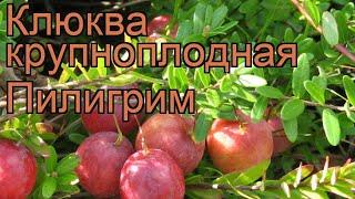видео Клюква Пилигрим