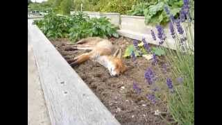 Surprise! Cute wild fox napping in the garden bed