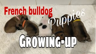 Part 1   How does the French Bulldog puppy growing   day 1 to 6 mos old.