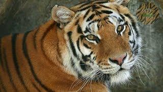 Este es EL VERDADERO REY de LA SELVA - Tigre de Bengala