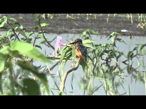 Small Blue Kingfisher Take Sun Bath & Prining, खंड्या पक्षी, धीवर पक्षी,