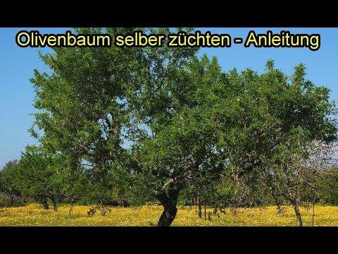 olivenbaum aus kern selber ziehen oilven pflanzen z chten olivenkern einpflanzen anleitung. Black Bedroom Furniture Sets. Home Design Ideas