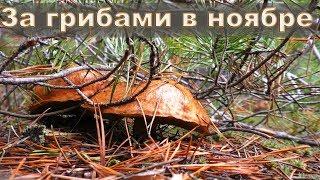 Поход за грибами в ноябре | Маслята радуют и удивляют