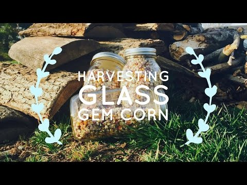 Harvesting Glass Gem Corn
