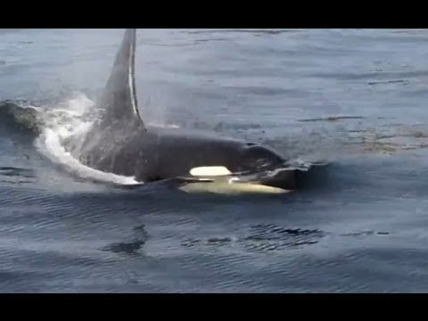 Built for Speed: Our Orca Story | California Academy of Sciences