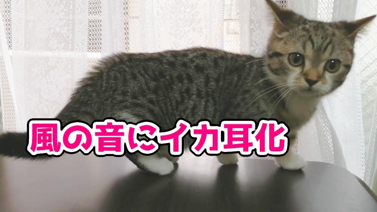 初体験 風の強い日の子猫の様子【もかちゃん/短足マンチカン】First experience of a kitten on a windy day【Short leg munchkin】