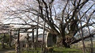 長野県 素桜神社の神代桜