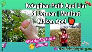 Gambar cover Ketagihan Petik Apel Liar di Jerman 🍏🍎 | Manfaat Makan Apel