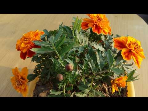 169# How to care Jafri marigold plant |Late winter flowers plant