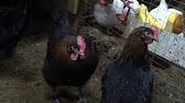 Цыплята Барбезье 2 месяца - YouTube
