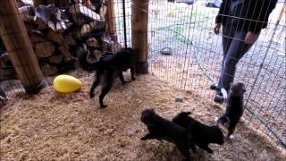 This is a video of Kai Ken (甲斐犬) Yamabushi no Nori's 3rd litter ...