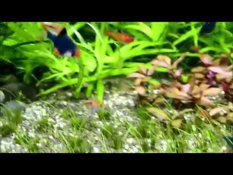Барбус суматранский мутант (Barbus tetrazona var)