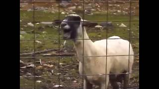La chèvre parle arabe mdr :-)
