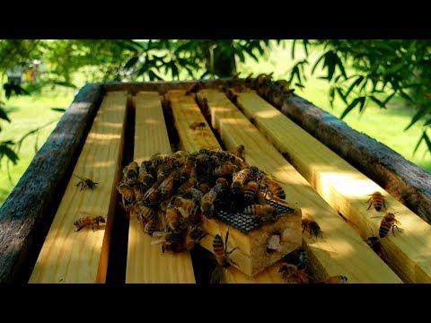 Honeybee Queen Calling In Her Swarm