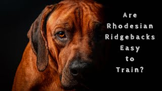 Are Rhodesian Ridgebacks Easy to Train?