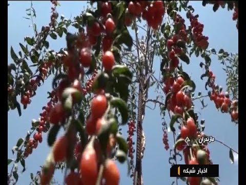 Iran Goji berry fruit new type of Herbal plant, Mazandaran province ميوه توت گوجي مازندران ايران