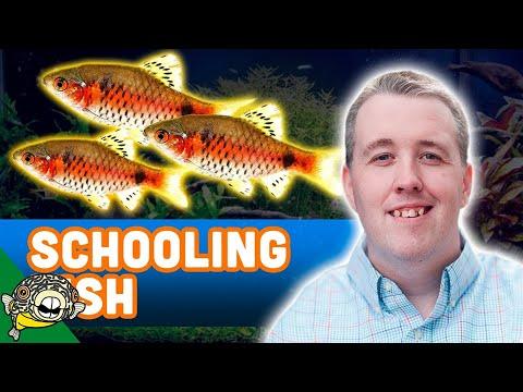 Odessa Barbs A Great Planted Tank Fish. Species Profile - Pethia padamya