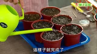 種子盆栽DIY教學 - 穴播法(適用大顆種子)