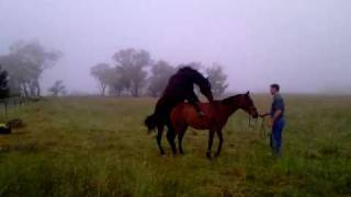 Horse Mating At Thornleigh, Borenore,NSW
