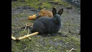 Фильм про кроликов(Выращивание кроликов в норах способствует их лучшему развитию, потомство полученое таким образом имеет..., 2012-04-28T08:05:00.000Z)