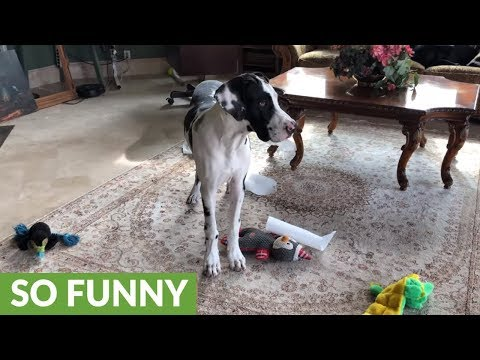 Great Dane puppy gets caught unraveling paper towel