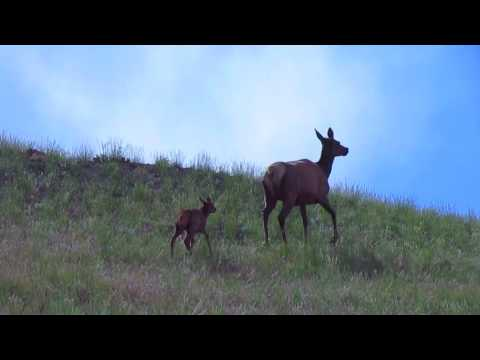 Elk and Calf - Yellowstone National Park