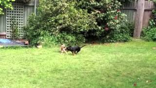 Bella The Italian Greyhound Playing With Squirt The Miniature Dachshund Dogs