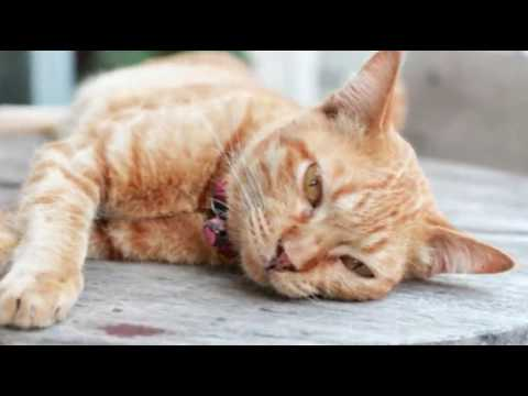 Fatty Liver Disease In Cats | Cat Care Tips