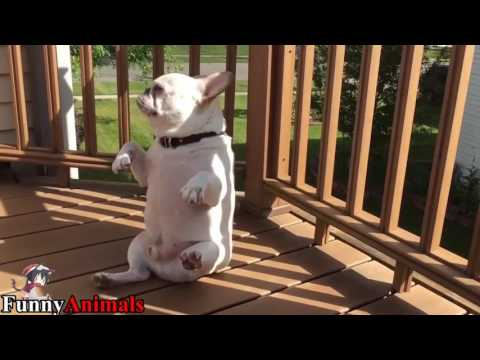 Funny Dancing French Bulldog Compilation 2017 – Funny Dogs Videos