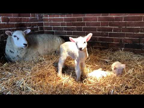 Our first twin lambs