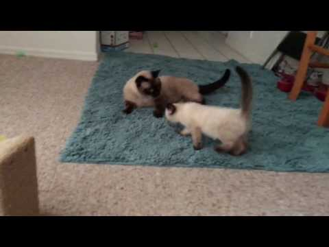 Foster Kittens Play with My Adult Cats!!